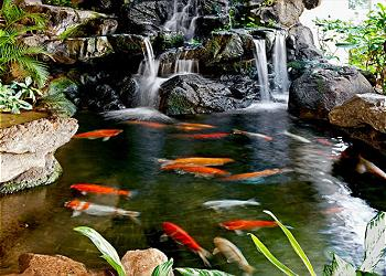 The Koi Pond in the Lobby