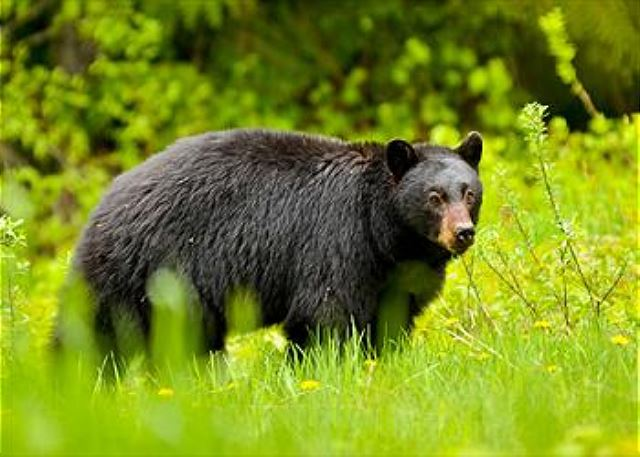 Just another Whistler local.  Bears are really cute but please don't feed them.