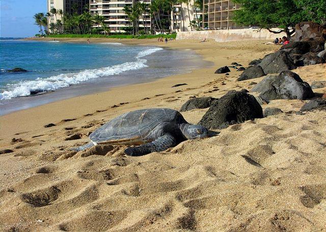 Giant greaan sea turtles love Kahana Beach as do occasional Hawaiian Monk Seals