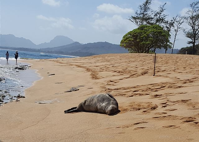 Monk Seal at the Beach