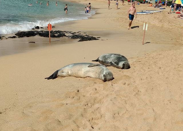 Hawaiian Monk Seal at Poipu Beach