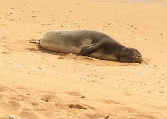 Endangered monk seals are a rare sight to see.