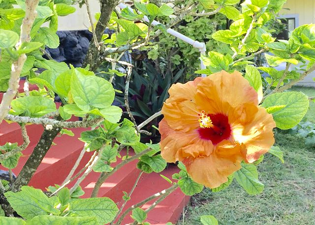 Hibiscus at the Hibiscus Hula Cottage