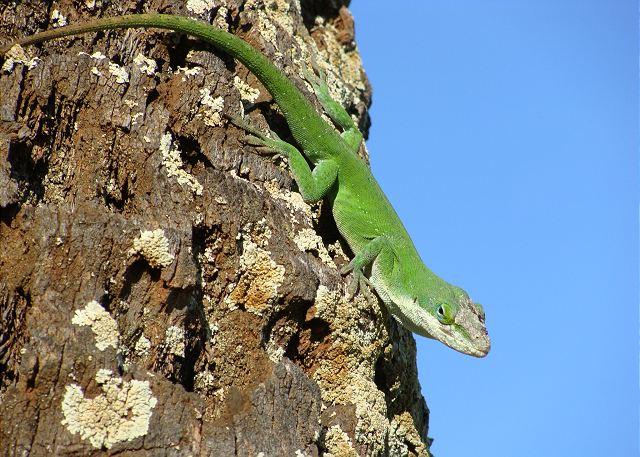 Local chameleon basking in the morning sun