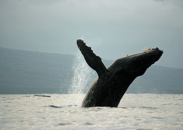 Humpback whale breaching - December to April