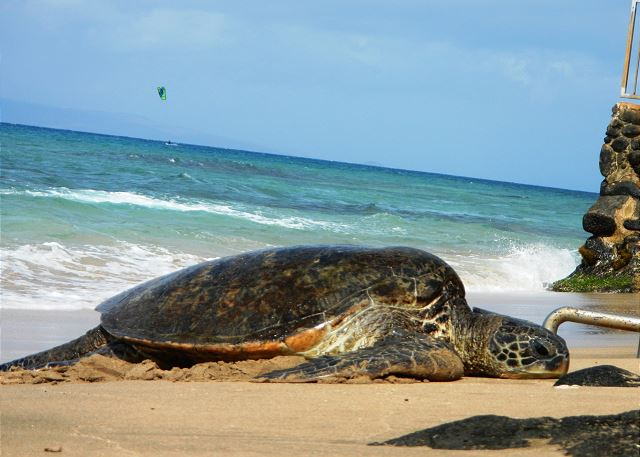 A sea turtle taking a breather, while a kite surfer rides the waves in the background