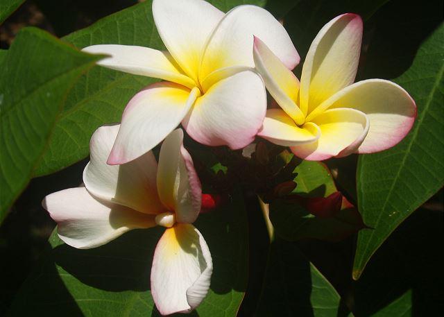 Poipu Plantation Macadamia 90