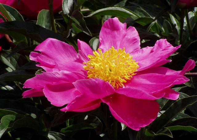 Poipu Plantation Hibiscus 140