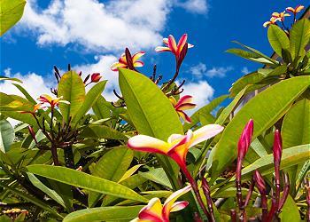 Poipu Plantation Ilima 50