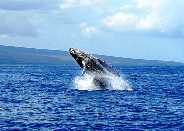 Whale watching on Maui during whale season