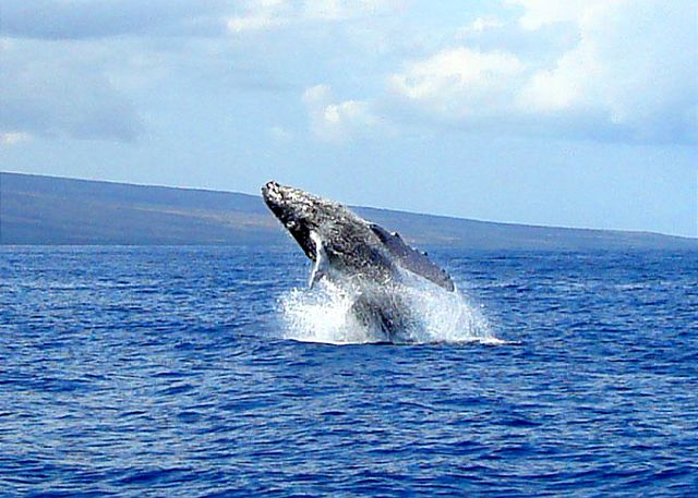 Whale watching season on Maui is November - May