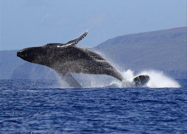Whale Season: November - April