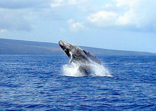 Maui Parkshore Whale Season