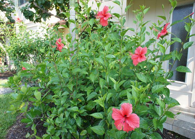Hibiscus found all around complex