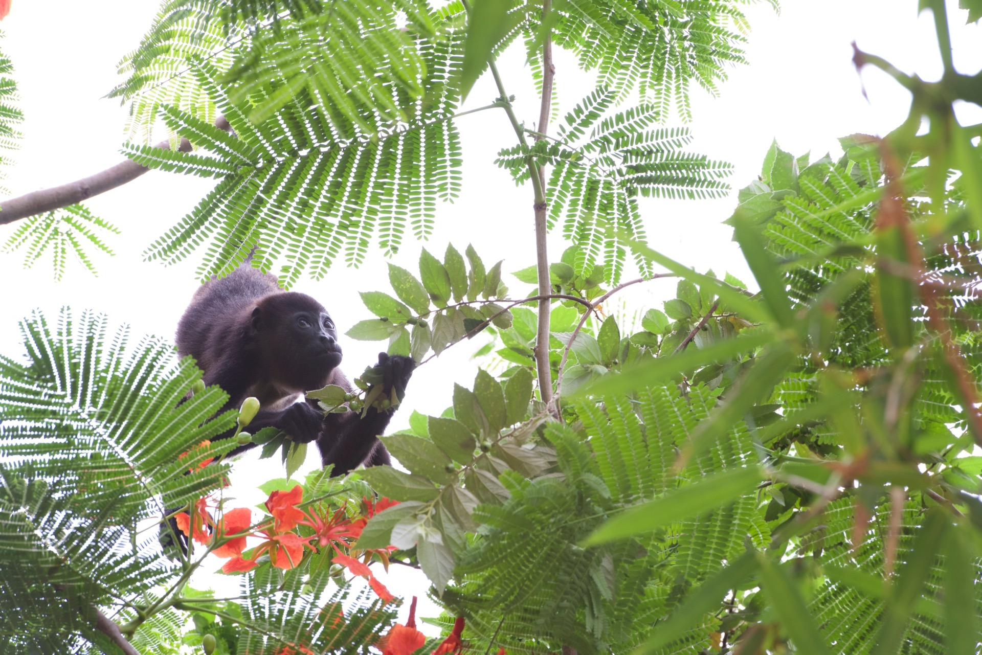 Some of the Howler Monkeys we have around