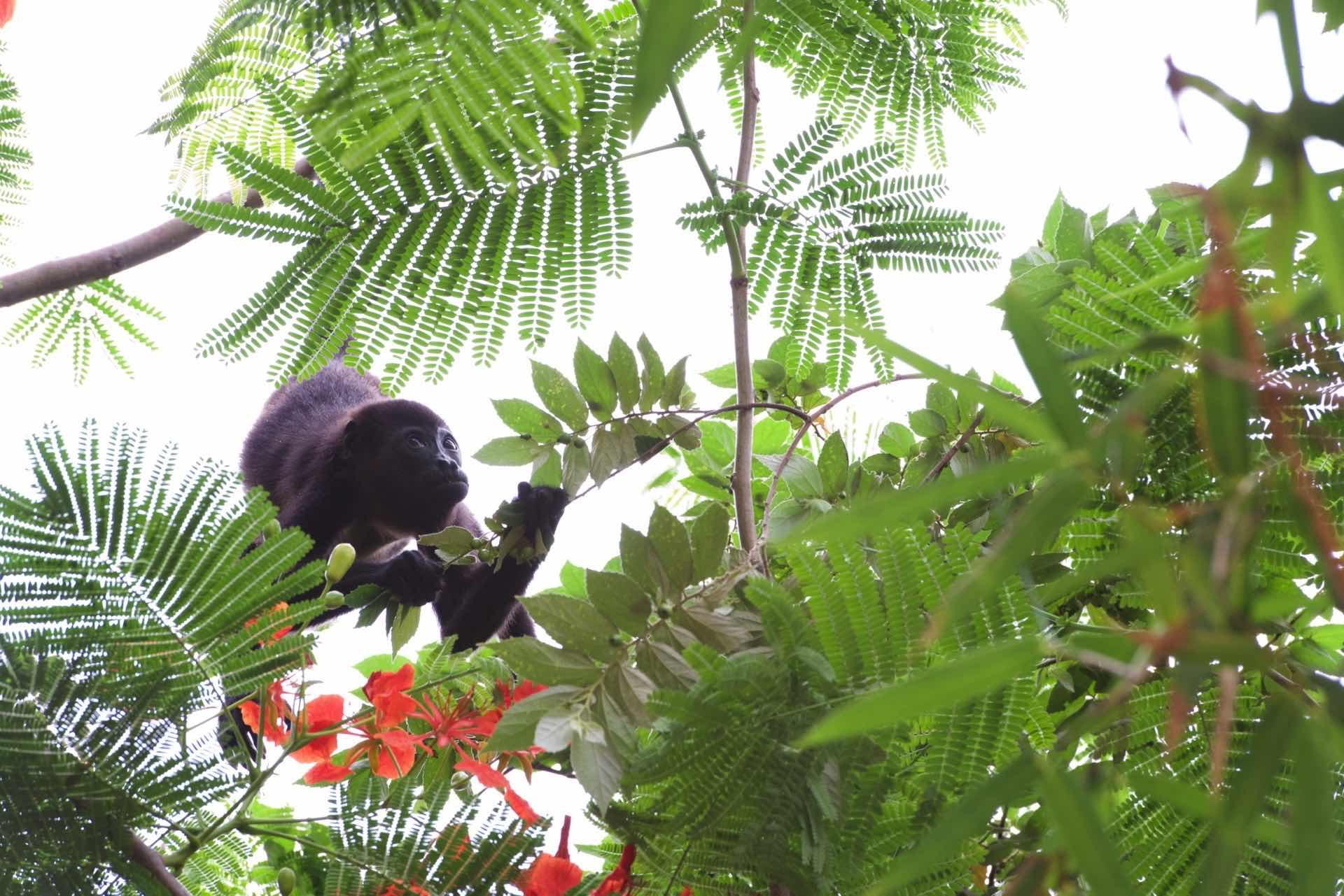 Howler Monkeys in the trees at Casa de Luz