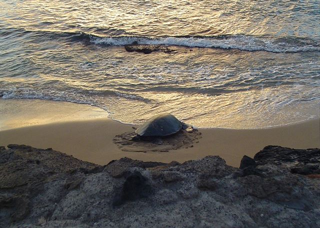 Resident Sea Turtle!