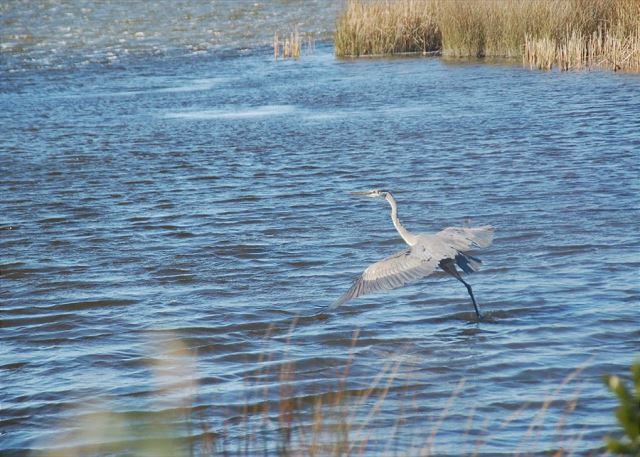 Heron on the Currituck Sound