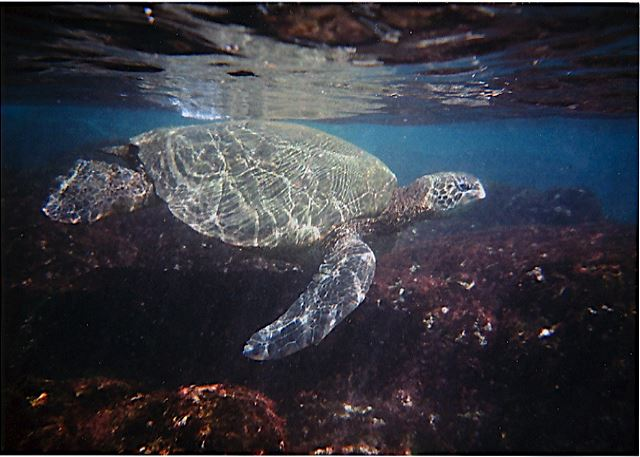 Swim or snorkel with the Honu (Green Sea Turtles)