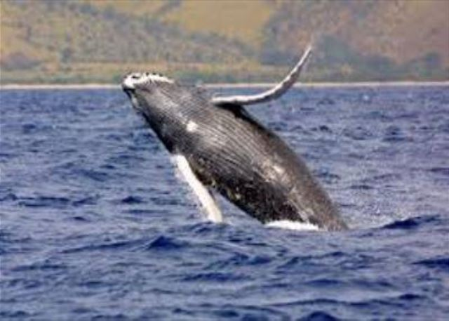 Watch the Humpback Whales Play!