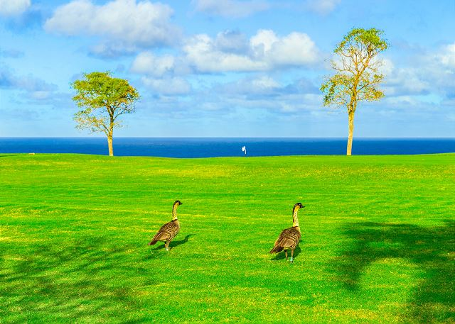 This is why we call the condo Hale Nene the Hawaiian Geese (Hawaii state bird)  love to stroll by
