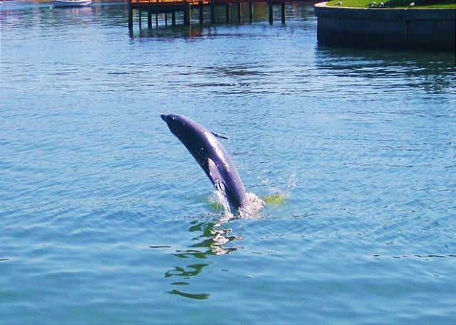 Dolphin Watch at Coconut Villas of Dunedin