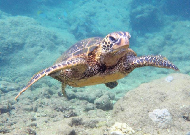 Kuhio Shores is located on the ocean protected by an outside surfing reef.  Inside the reef, during low tide, these turtles rest, in large numbers (40, or more)