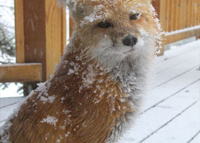 Meet Fred, the resident fox.